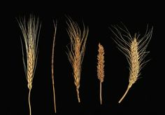 Photograph:Modern cultivated spring wheat (right) is used today to make many kinds of bread. The other wheats shown in the illustration are wild and primitive varieties of this wheat. Kids Homework, Retro Flowers, Being Used, Primitive, Grains, Photograph, Butter, Bread, Tattoos