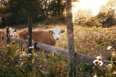 Livestock fence & There are different types of fences that can be used for livestock: woven wire fences, barbed wire& Flower Images, Flower Pictures, What Is Homestead, Homestead Farm, Rule Of Thirds Photography, Different Types Of Fences, White Magic Spells, Cow Pictures, Cow Photos