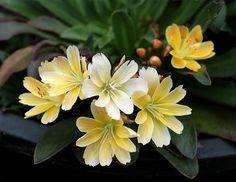 Lewisia longipetala 'Little Mango' --evergreen + drought tolerant