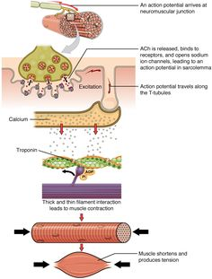 Anatomy Of Troponin In Muscle Contraction 103 Muscle Fiber Contraction And Relaxation Anatomy And Physiology Neuromuscular Junction, Nurse Teaching, Musculoskeletal System, Nursing School Notes, Biology Lessons, Muscular System, Human Anatomy And Physiology, Medical Anatomy, Muscle Anatomy