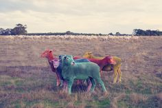 Photographer Makes His Dreams Come True With A Rainbow-Colored Flock Of Sheep