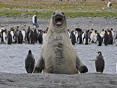 The Elated Elephant Seal. | 19 Dead Set Legendary Photobombers