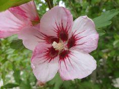 Syrisk rose