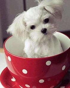 If I get another Maltese puppy for Christmas (like I'm asking for!)...I'm going to name her Lulu. :-)