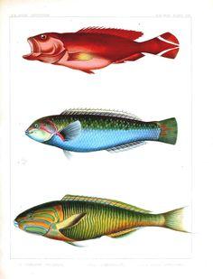 really old fish prints