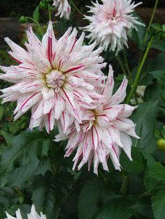 dahlias from my french garden - Sharon Santoni