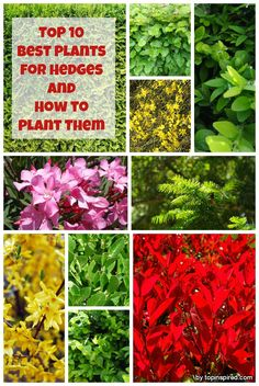 If you are thinking about planting a new hedge and have doubts on which plant is the best for you, we are offering a list of the most popular ones so you can choose whichever suits you best. Hedges are a necessary part of every garden, providing privacy, blocking wind or even buffering noise. But most importantly