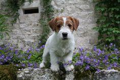 Jack Russell Terrier#dogs#Jack Beauty Floyd (Jack Beauty kennel)