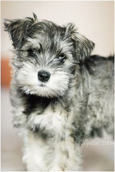 I want a schnauzer puppy so bad!
