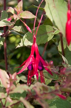 Fuschia magellanica 'Versicolor is a deciduous shrub with small, grey-green leaves variably margined with cream and flushed pink when young; flowers slender, with red tube and sepals and purple petals Source RHS Plantfinder
