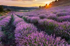 Lavender Evening by Pavel Pronin on 500px