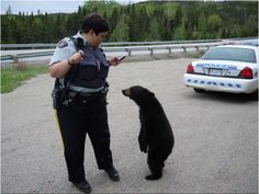 This bear cub was euthanized for being too friendly and curious of humans near the Terra Nova National Park in Newfoundland, Canada. The Department of Fish and Wildlife says the bear was so friendly to humans that there was no other choice than to euthanize him. This brings up the debate of animal management. We take away their habitat, but complain that they are attracted to our food and things. How sad and screwed up.