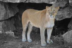 Lion @ the St. Louis Zoo Photo Splash, The St, Photography Photos, St Louis, Lion, Animals, Leo, Animales, Animaux