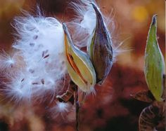 Save the Butterflies With DIY Milkweed Seed Bombs Cinnamon Garden, Monarch Caterpillar, Seed Bombs, Hummingbird Garden, Herbaceous Perennials, Plant Species, Potting Soil, Seed Starting, Garden Spaces