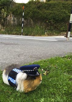 Corgi, Reindeer and Guinea Pig: Animals Serving in Police Around the World