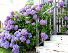 Hydrangeas in shades of periwinkle