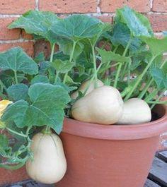 Cómo cultivar calabazas en casa en macetas Más