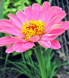 After seeing all the pins of the Burpee ad for the 'Queen Red Lime Zinnia' I went and bought some seeds. The first bloom is coming! Taken September 12th 2012