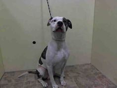 GONE --- TO BE DESTROYED- 10/31/2014 Manhattan Center  My name is MARLO. My Animal ID # is A1018985. I am a male white and br tiger pit bull mix. The shelter thinks I am about 2 YEARS   I came in the shelter as a OWNER SUR on 10/28/2014 from NY 10467, owner surrender reason stated was INAD FACIL.   https://www.facebook.com/photo.php?fbid=897083720304508