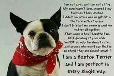 I am a Boston Terrier
