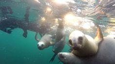 Snorkeling con lobos marinos en la Reserva Natural de Punta Loma, Puerto Madryn, Patagonia Argentina