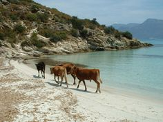 In Corsica even the cows go to the beach - Saleccia, Corse, Italy