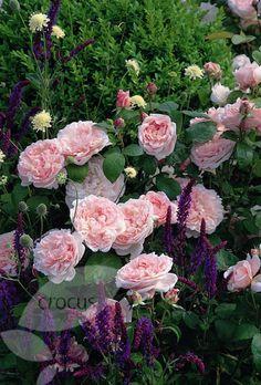 Rosa Eglantyne -   Bloeiherhalende, geurende, ziektebestendige, zeer sterke struikroos met perfect gevormde, zachtroze bloemen, mooi blad, goede snijbloem - 120 cm H x 100 cm B