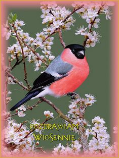 Index Rare Birds, Exotic Birds, Colorful Birds, Pretty Birds, Beautiful Birds, Song Thrush, Hope Is The Thing With Feathers, Bullfinch, Diy Upcycling