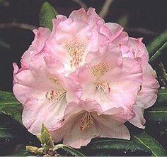 Rhododendron'Ken Janeck' -15 degronianum ssp yakushimanum seedling