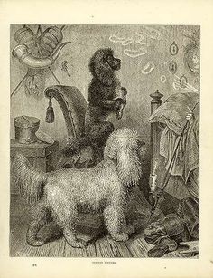 Antique print: picture of German Poodles -