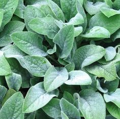 3 Live Plants LAMBS EARS aka Stachys Byzantina - 3 Rooted Plants 6 inches tall, Deer resistant, Ground Cover, Butterfly garden