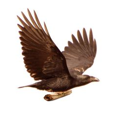 It is said that Rhode Montijo's children's book manuscripts are delivered by ravens!