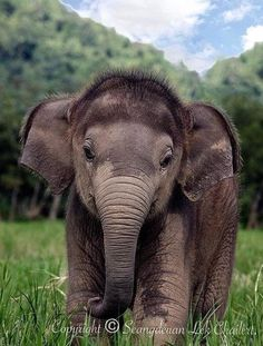 Animals and pets diva nails kingston - Diva Nails Cute Funny Animals, Cute Baby Animals, Animals And Pets, Cute Creatures, Beautiful Creatures, Animals Beautiful, Elephant Photography, Animal Photography, Cute Baby Elephant