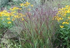 Panicum virgatum 'Shenandoah', Switch grass. Very like Imperata cylindrica but can tolerate dry summers.