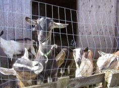 How To Keep Goats For Additional Income- some very basic tips #goatvet