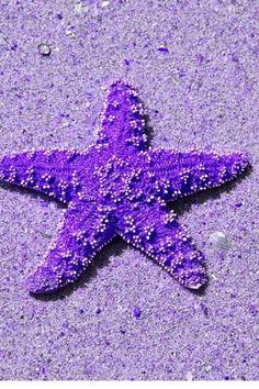 Purple Starfish ~ no valid link Purple Love, Purple Rain, Purple Stuff, Purple Lilac, All Things Purple, Shades Of Purple, Deep Purple, Purple Beach, Under The Water