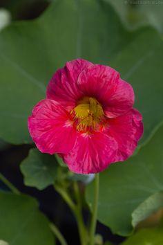 """Kapuzinerkresse / Nasturtium """"Dwarf Cherry Rose"""" (Tropaeolum minus) Einjährige Sommerblume mit magenta-rosa Blüten / Annual summerflower with magenta rose flowers"""