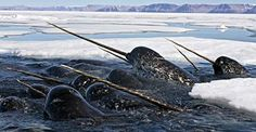 "Did you know that Narwhals and their ""unicorn horns"" are real? Read more here: http://tmblr.co/ZyY33t10py46w #Nature #PLUMLANDING #PBSKIDS #Narwhals #PBS"