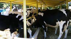 Средната продуктивност на кравите от АРЧШП-Добрич стигна 7100 кг