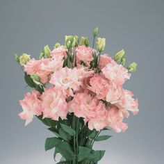 Magic Misty Pink Lisianthus, Eustoma grandiflorum - Produces large, soft-pink, shapely double flowers on long, strong stems. Plants grow 32-40 inches tall. Excellent for cut flowers.