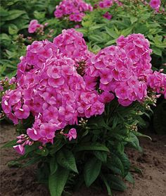 "Phlox, Cosmopolitan  Compact plants with clusters of hot pink flowers.  Dwarf phlox with eye-catching 4"" clusters of big, hot pink 1 ½"" florets with blazing fire-red eyes. Plant them in a border, and drink in their sheer beauty."