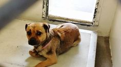 #A4828504  I'm a female pug mix. My friends at the shelter think I am about 5 years old. I came to the shelter as a stray on May 9, 2015  Not listed Online  Carson Shelter, Gardena, California