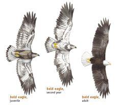 Eagle Bird, Shorebirds, Natural Wonders, Artist At Work, Animal Kingdom, Bald Eagles, Wildlife, Animals, Animales