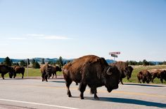 Where else can you say you were caught in a traffic jam because a herd of wild buffalo decided to cross in front of your car? Custer State Park, Black Hills, South Dakota.