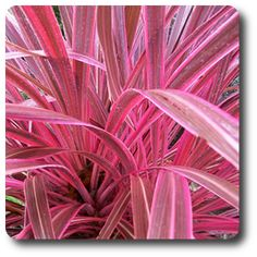 Cordyline 'Electric Pink' drought tolerant full sun.  2' to 4' tall and wide.  Grass like.