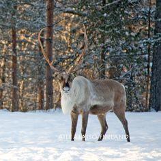 Reindeer on the snow .. Inari Lapland ,Finland