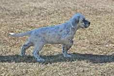 On point, English setter puppy