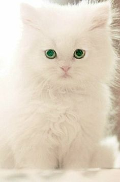 kitten , like the snow the first and pure