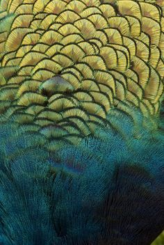 Peacock Feathers by jo clegg