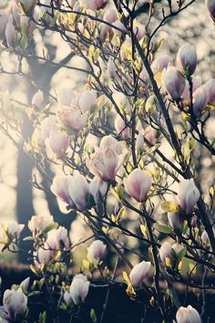 ... nothing quite like the beautiful magnolia trees when they're in bloom ~ Kelowna, BC